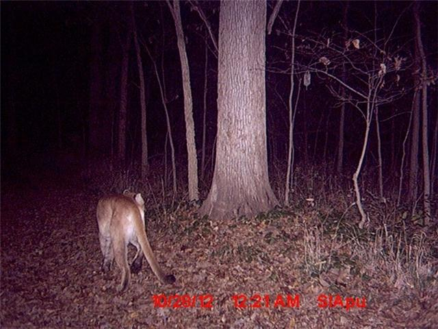 This cougar was captured by a trail camera in Morgan County, Illinois in 2012.