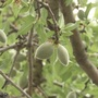 Chico almond farmer reacts to tariffs