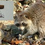Upcoming local air drops intend to rid local raccoons of rabies