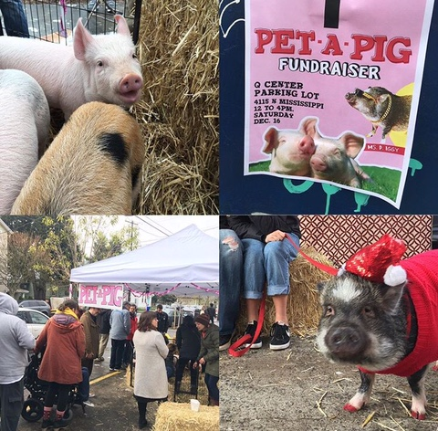 People gathered at the Q Center for Pet-A-Pig to hang out with therapy piglets and help out the Blanchet Center and the Q Center (Julie Showers).