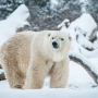RIP Nanuq: Columbus Zoo polar bear euthanized due to liver cancer