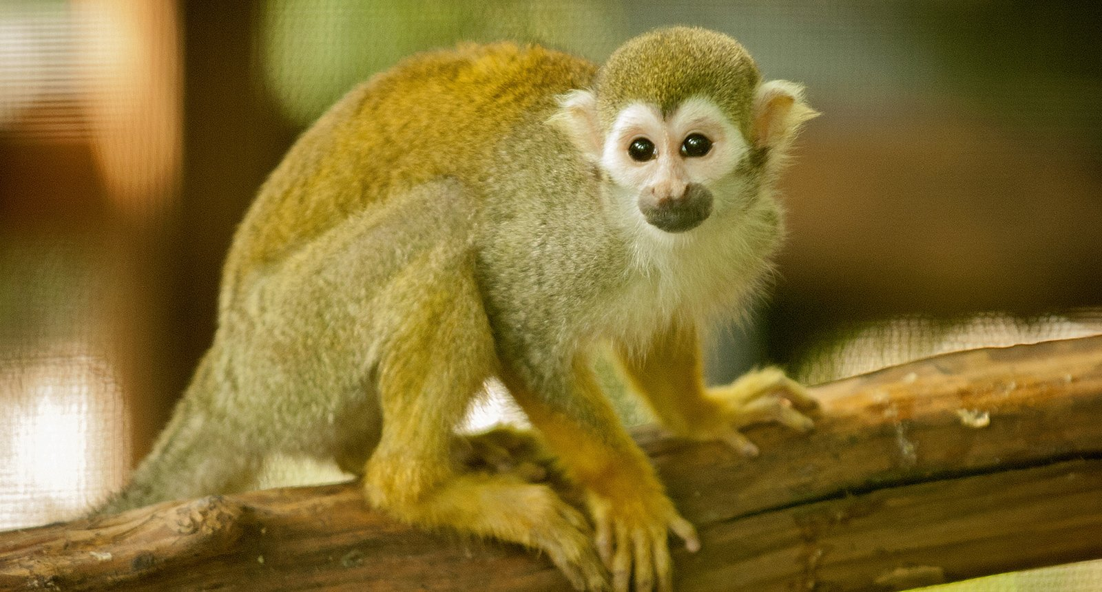squirrel-monkey.jpg