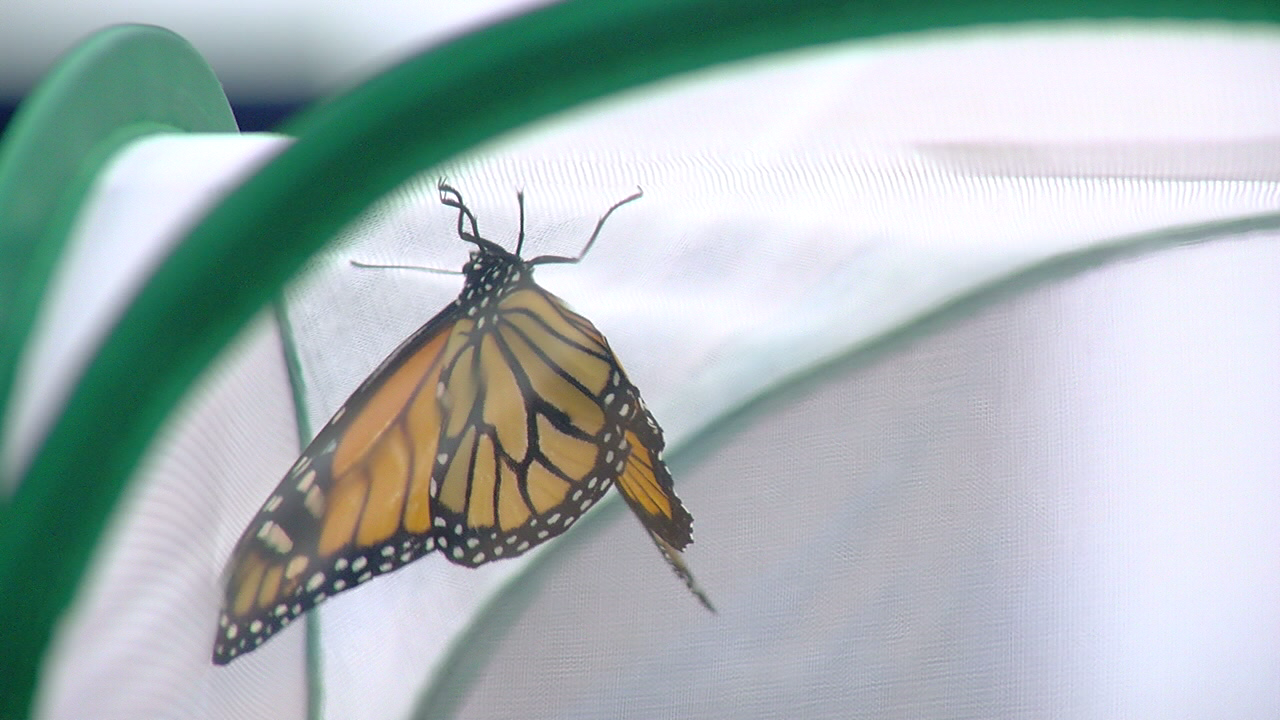 University of Cincinnati researchers study butterflies to better understand humans. (WKRC)