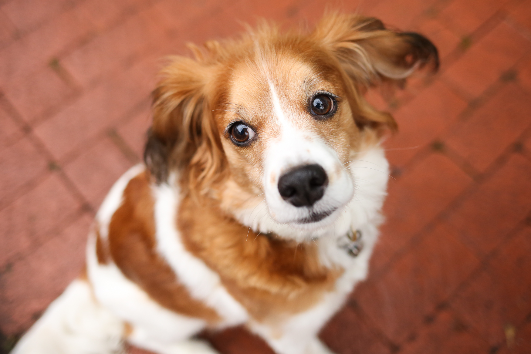 "Meet Penny, a 6.5-year-old Cavalier King Charles/Cocker Spaniel mix. Penny has been living with her mom since 2013, when she adopted Penny during her senior year of college. Mom went to a rescue group in her neighborhood ""just to look"" and the rest was history! Penny is obsessed with her glow-in-the-dark Chuck-it ball and playing fetch, being a cuddle monster and sitting on patios with her parents. She hates salmon and being woken up early-- she would sleep all day if she had it her way. Penny is a serious squirrel hunter, and goes well beyond chasing them up trees, to the point where she will take a running start and jump several feet up the tree trunk and try to grab on with her paws! You can follow all of Penny's adventures on her Insta: @pennythedcpup. If you're interested in having your pup featured, drop us a line at aandrade@dcrefined.com (Image: Amanda Andrade-Rhoades/DC Refined)"