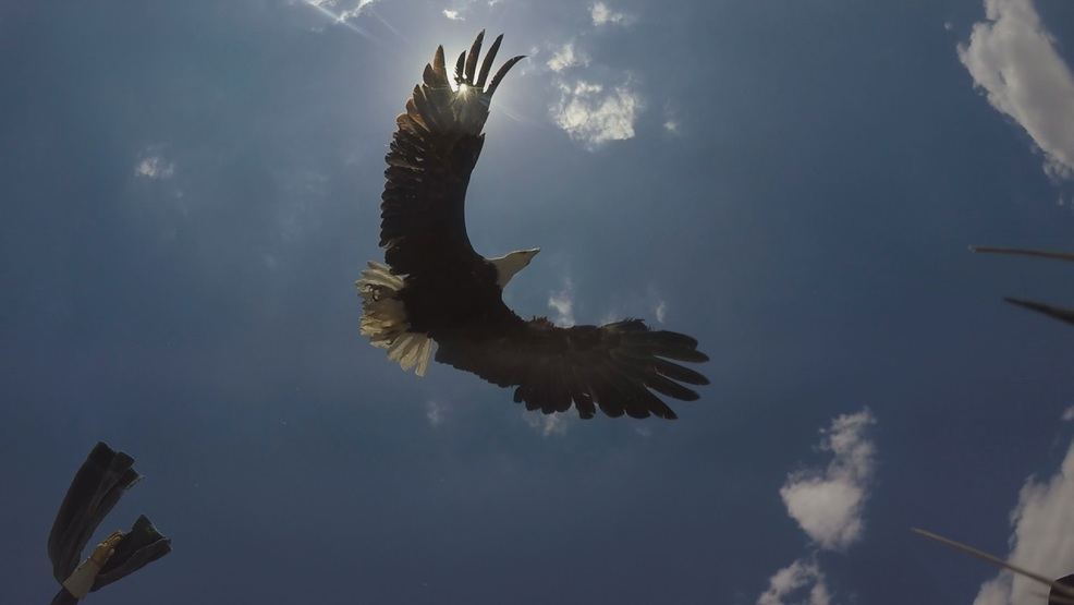 Central Nebraska eagle soars home after recovering from lead ...