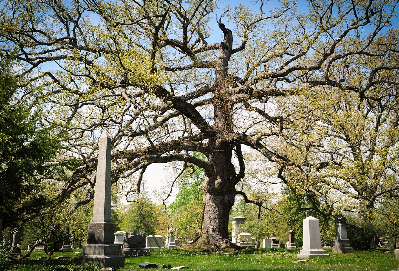 The oldest oak tree in Spring Grove / Spring Grove Cemetery & Arboretum is located at 4521 Spring Grove Avenue, Cincinnati OH 45232. // Image: Melissa Doss Sliney