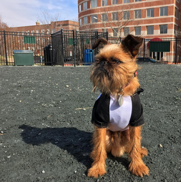 IMAGE: IG user @macofdc / POST: Hey gurl, you know which way it is to the weight room? #buffdog #brusselsgriffon #everydayimbrusseling #instagriff #buzzfeedanimals #barkbox #griffonbruxellois #dogstagram #dogs_of_instagram #dogsofinstagram #squishyfacecrew