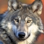 State decides to kill entire wolf pack in northeast Wash.