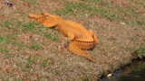 Gator: Orange is the new green