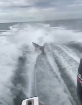 Video of shark being dragged by boat prompts investigation by Florida Fish and Wildlife Conservation Commission. (Florida Fish and Wildlife Conservation Commission)