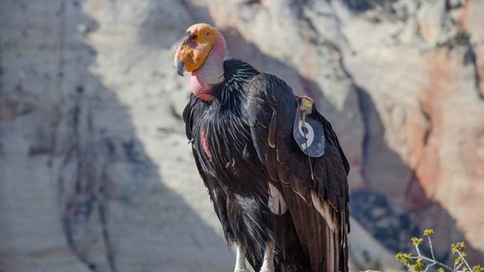 New condor chick born at Zion National Park