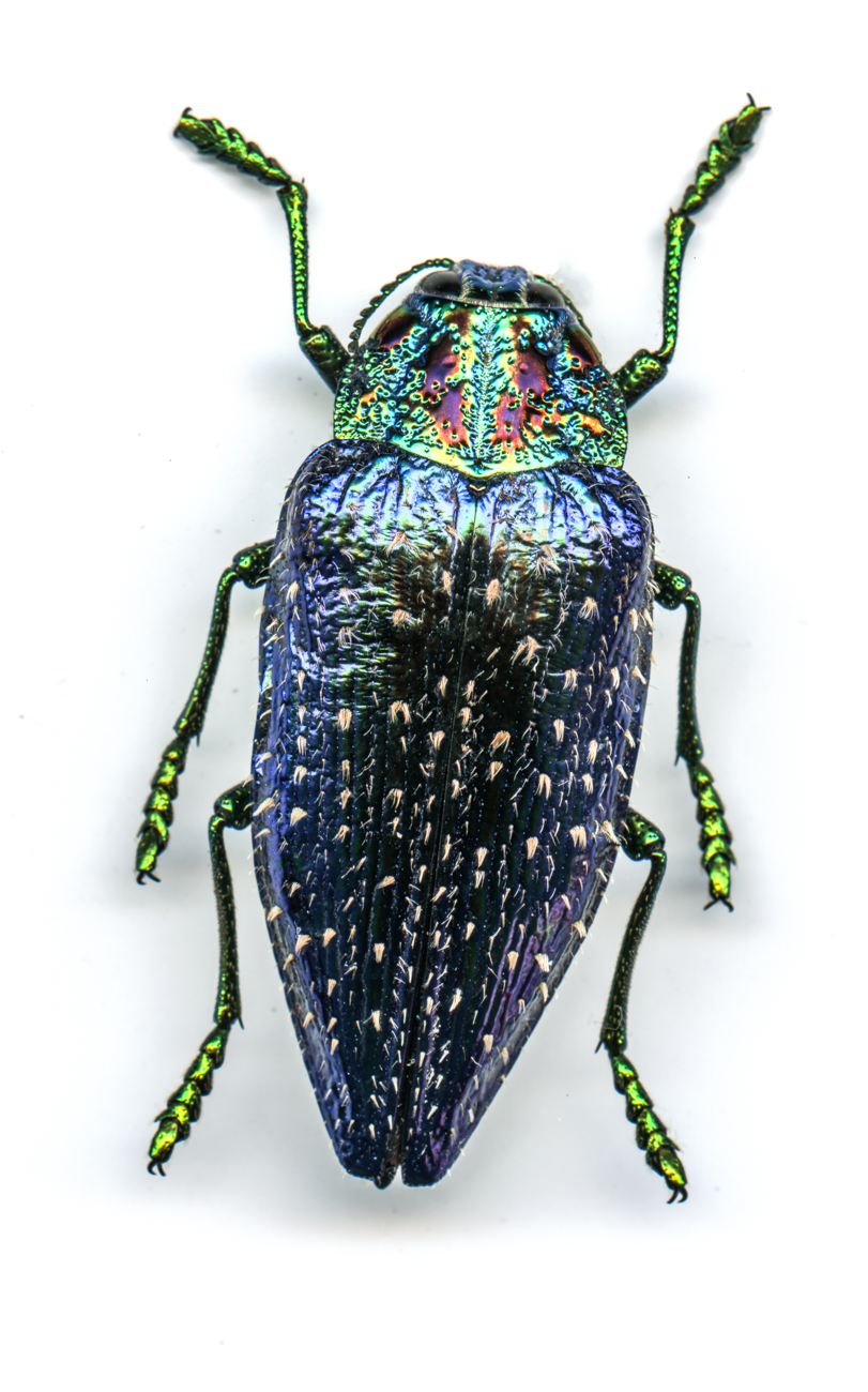 Blue Jewel Beetle{ }/ Image: Catherine Viox // Published: 4.12.20