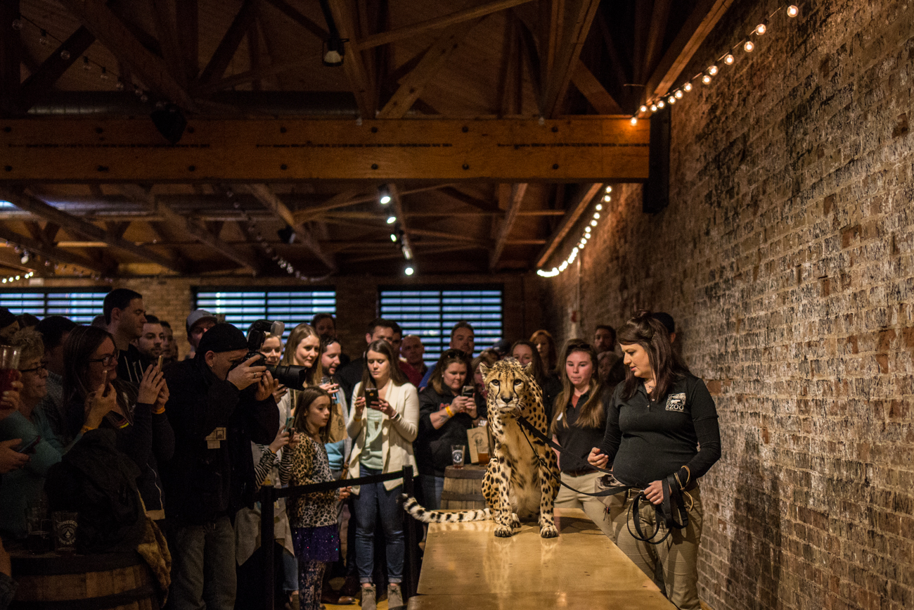 "Rhinegeist held a ticketed event where zoo animals were brought into the taproom to benefit the Living Classroom Education Access Fund. A cheetah is seen here staring down photographer Catherine Viox as others take the wild cat's photo. First published on May 3 in ""Cincinnati Zoo Animals Took Over Rhinegeist For The Night"" / Image: Catherine Viox"
