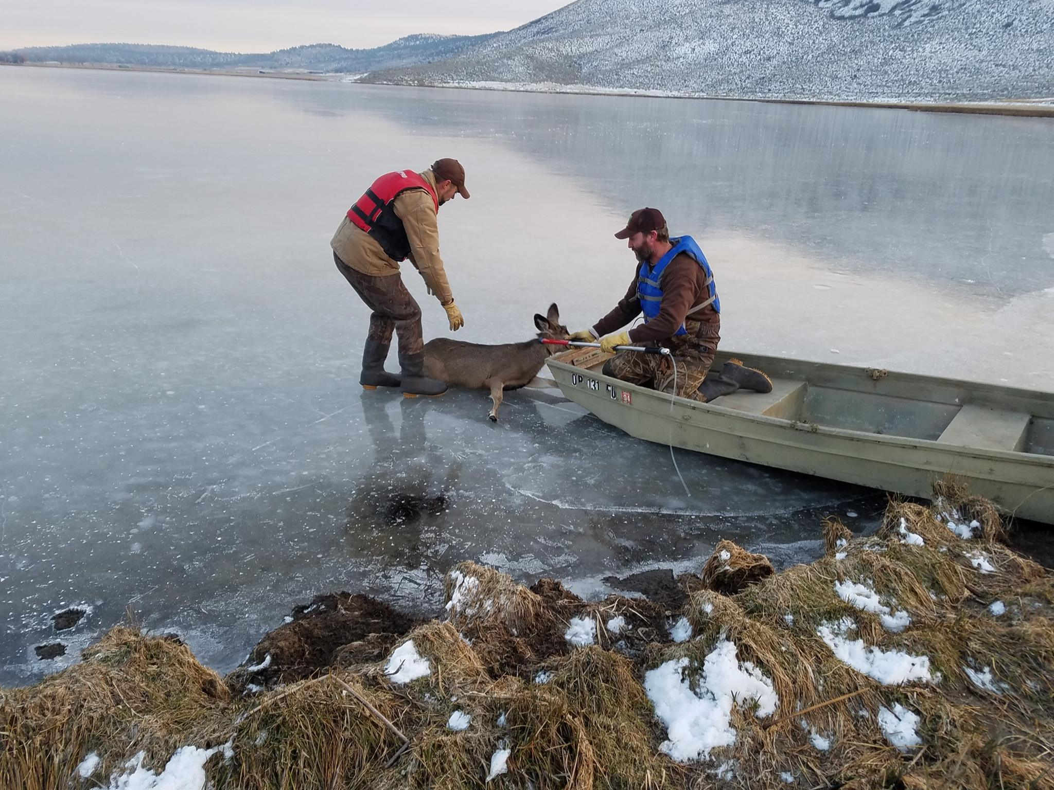 Two Oregon Department of Fish and Wildlife biologists borrowed a boat from the landowner. Using the boat, they crossed the ice and reached the deer. The biologists brought the exhausted buck back to shore. (OSP)