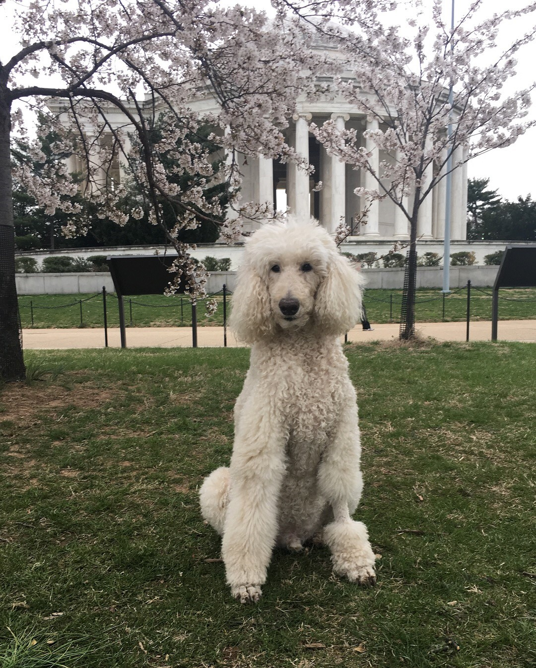 In honor of National Pet Day (which is basically like Christmas around here!) we checked in on a few of our favorite Instagram stars to see what they've been up to lately, and we noticed many of them had paid a visit to D.C.'s beloved blossoms. So for this week's special RUFFined Spotlight, we give you some adorable four-legged admirers of the cherry blossoms! (Image: via IG user @gentlemanjaxdc / instagram.com/gentlemanjaxdc/)
