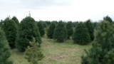 U.S. Christmas Tree Shortage