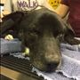 Marvel, the dog rescued with metal tubing around neck, dies after surgery