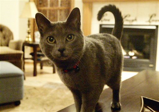 Nadia the cat at its home Thursday, Feb. 25, 2016 in Sheboygan, Wisc. The 2-year-old Russian blue escaped from Cheri Stocker's Sheboygan home on Christmas Eve, where it disappeared until showing up this week 1,484 miles away in Naples, Fla. (Phil Bock/The Sheboygan Press via AP)