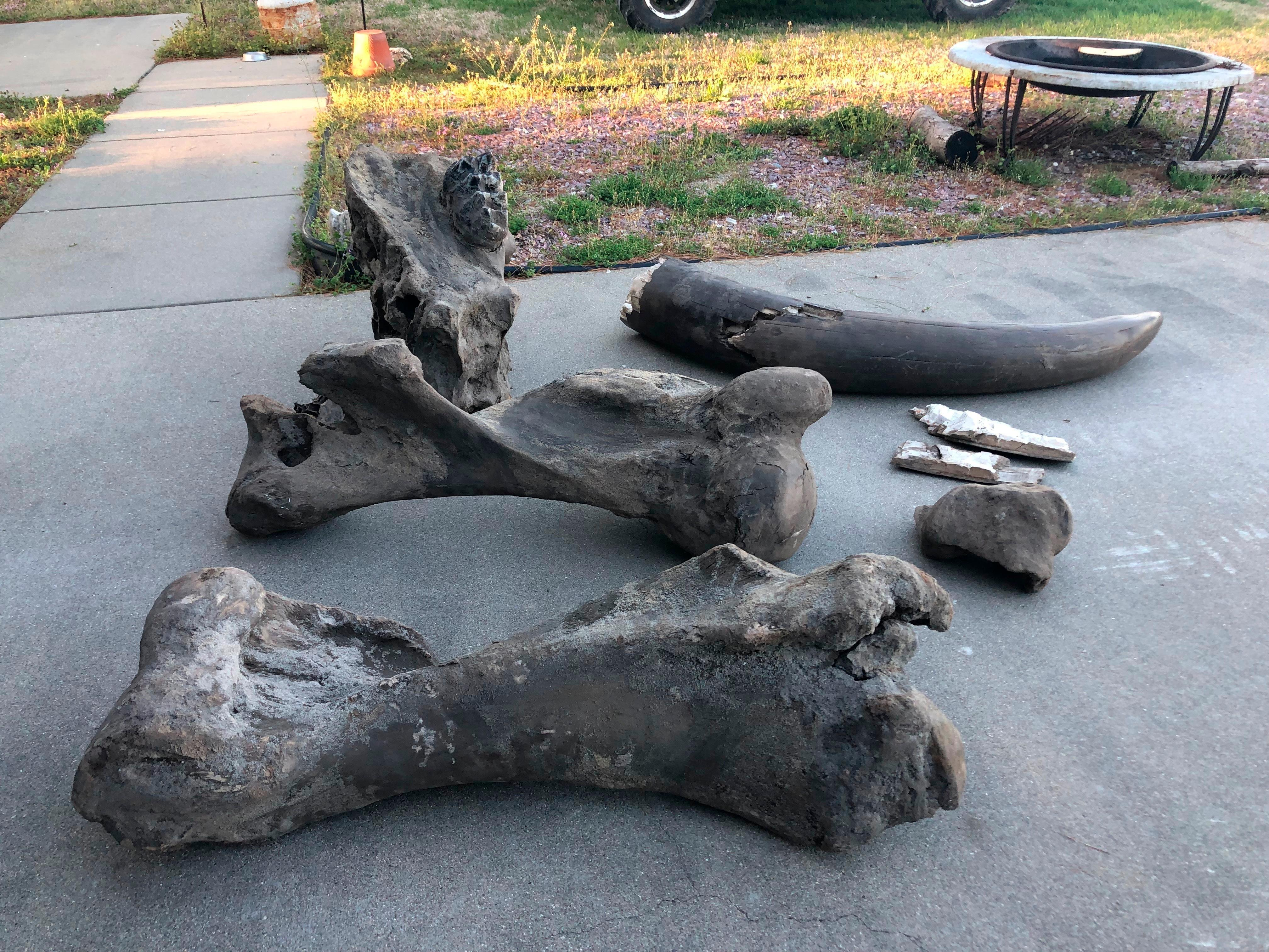 This April 15, 2019 photo shows remains of a mastodon found on a private property in Seymour, Ind. Atlas Excavating recently discovered the remains of a mastodon on property owned by Schepman.  The remains include the majority of a tusk, part of a jawbone with teeth, two upper leg bones, a vertebrae, a joint and part of the skull. The tusk was split into two pieces and together made up about a third of the tusk.  (Jordan Richart/The Tribune via AP)