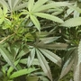 Officials issue health alert for pesticide-tainted pot