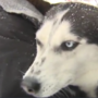 Court rules for dog owner to be reunited with Husky that disappeared in 2013