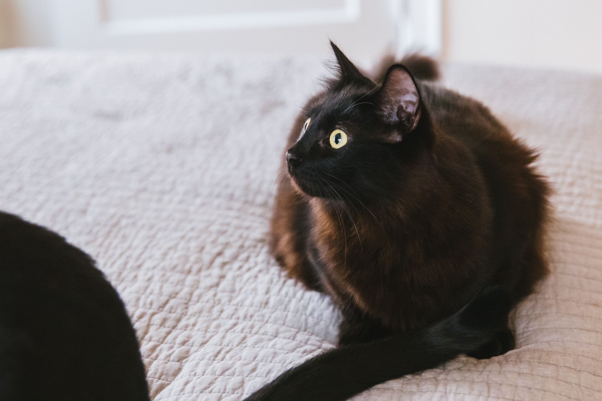 "Bruce is a 10-month-old ""floofy bear,"" roly-poly beachball of a kitten adopted from{&nbsp;}<a  href=""https://www.instagram.com/motleyzoocrew/"" target=""_blank"" title=""https://www.instagram.com/motleyzoocrew/"">Motley Zoo Animal Rescue</a>{&nbsp;}on the eve of quarantine. Bruce loves wrestling with his brother,{&nbsp;}Thor, spooning and climbing to the top of everything.{&nbsp;}On any given day, you'll find Bruce napping in his favorite hiding spot or jumping fearlessly from the top of the cat tree — usually for snacks. He loves all things edible and hates rules (and the vacuum).{&nbsp;}<a  href=""http://seattlerefined.com/ruffined"" target=""_blank"" title=""http://seattlerefined.com/ruffined"">The RUFFined Spotlight</a>{&nbsp;}is a weekly profile of local pets living and loving life in the PNW. If you or someone you know has a pet you'd like featured, email us at{&nbsp;}<a  href=""mailto:hello@seattlerefined.com"" target=""_blank"" title=""mailto:hello@seattlerefined.com"">hello@seattlerefined.com</a>, and your furbaby could be the next spotlighted! (Image: Sunita Martini / Seattle Refined)"