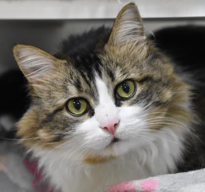 I'm Princess Gizmo, a six-year-old tabby with lots of love to give! I'm always ready to snuggle up on the couch and watch some TV together. While I don't mind dogs, I'd prefer to be the only cat at home. I'm looking for a family who loves to play with older kids who know how to take care of a little lady like me. I hope to meet you soon!<p></p>