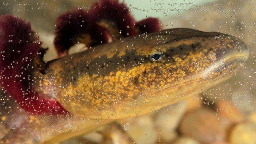 The largest amphibians in Maine have invaded its lakes and ponds
