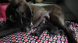 Rescued Great Dane gives birth to puppies