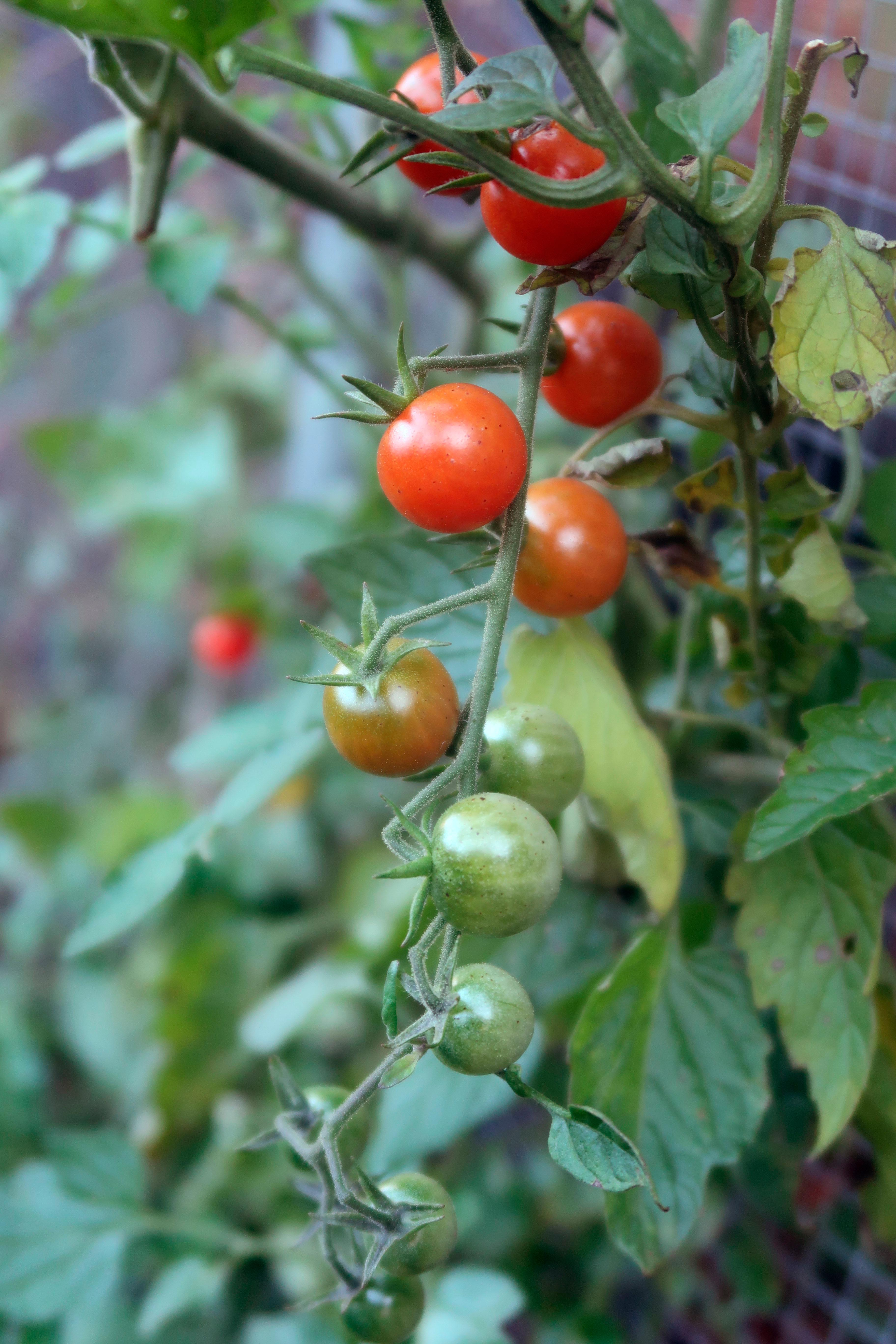 This Friday, Oct. 27, 2017 photo provided by Richard Primack shows tomatoes growing in his home garden in Boston. Primack says there are also lettuce, beans and many other vegetables growing in the garden, and he is still eating them for dinner. (Richard Primack via AP)