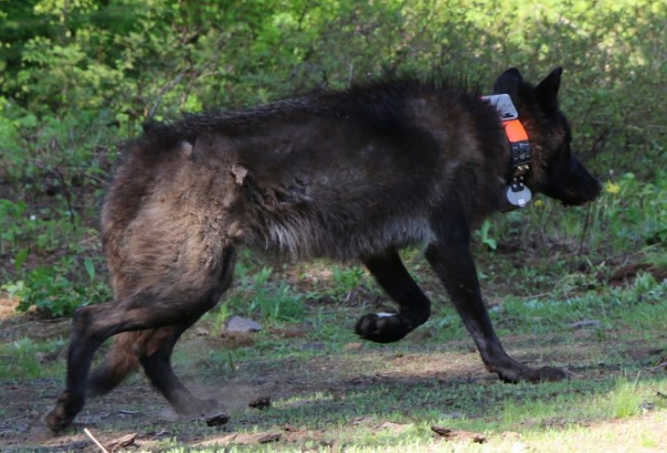 Information needed in illegal killing of gray wolf (Photo courtesy OSP)