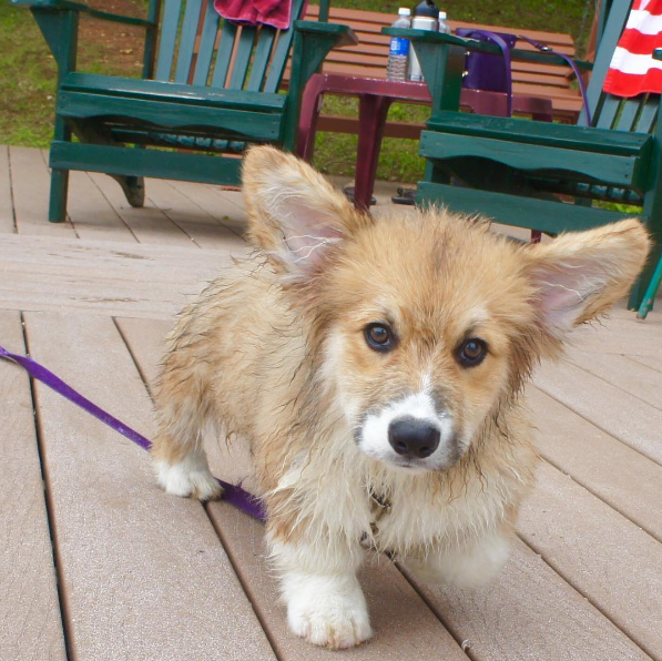 IMAGE: IG user @moogle_the_fluffy_corgi / POST: Baby me disapproved being dipped in the lake. I've grown much since, and now I love swimming very much! My goal this year is making the perfect corgi stretchy jump into the lake! #FBF #SummerHereICome #FluffyFriday