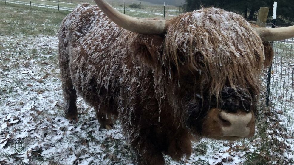 Bob the Scottish Highland Cow on Cagle Mtn from David Bizzell.jpg