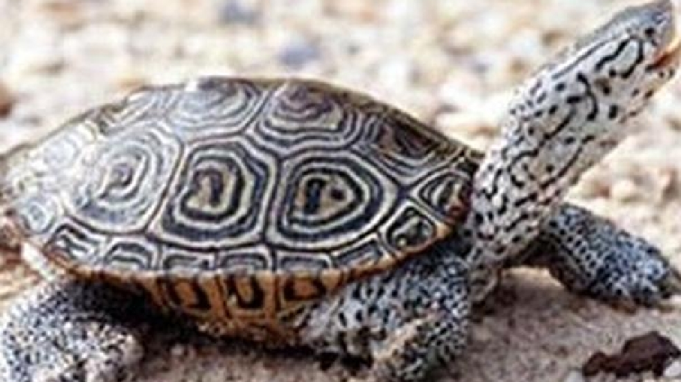 Are Diamondback Terrapins Endangered