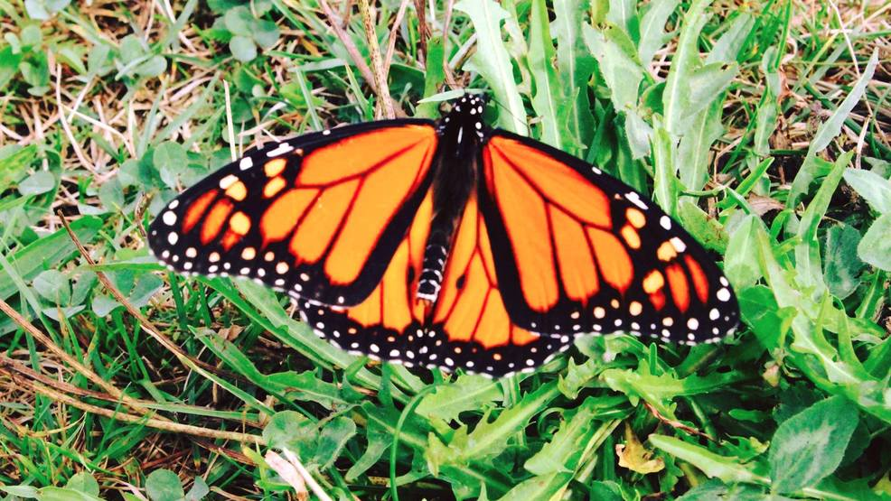 NWS radar catches monarch butterflies migrating