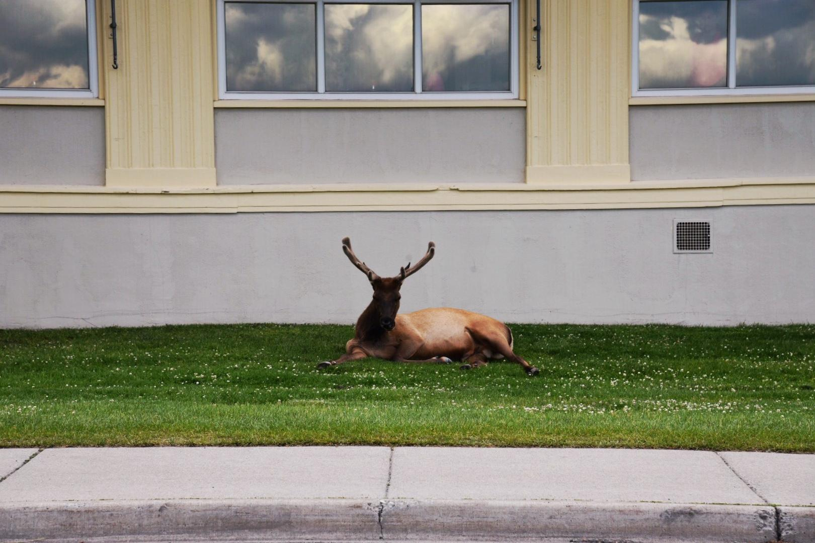 Elk can be found everywhere at Mammoth Hot Springs. (Image: Rebecca Mongrain/Seattle Refined)
