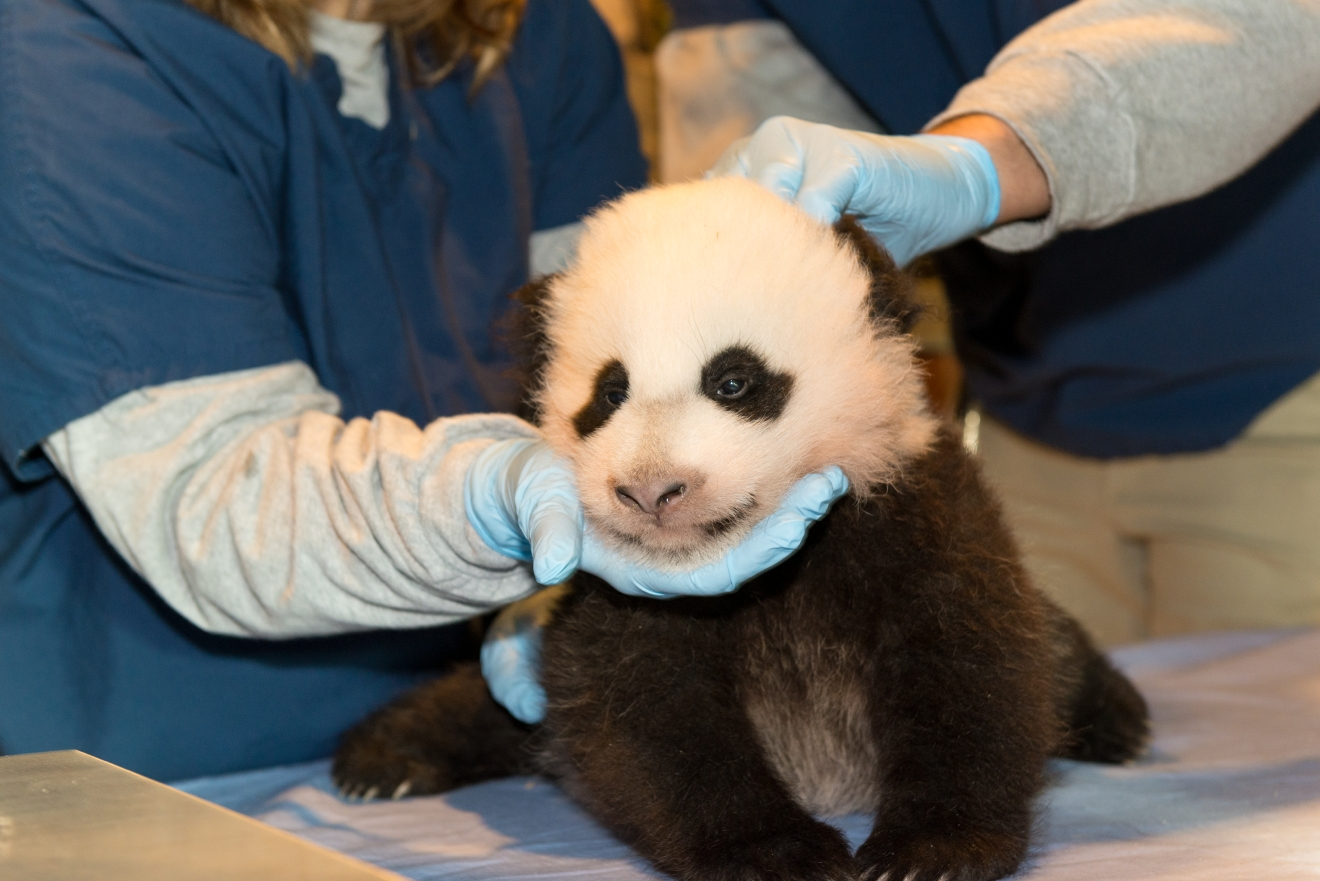 November 15, 2013 (Image courtesy of Connor Mallon, Smithsonian's National Zoo)