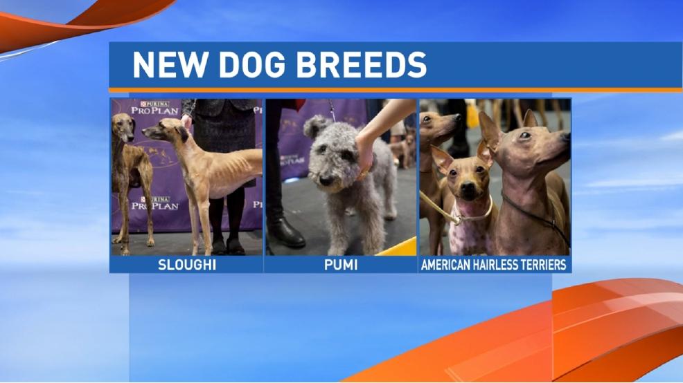 Westminster Dog Show  Tv Results