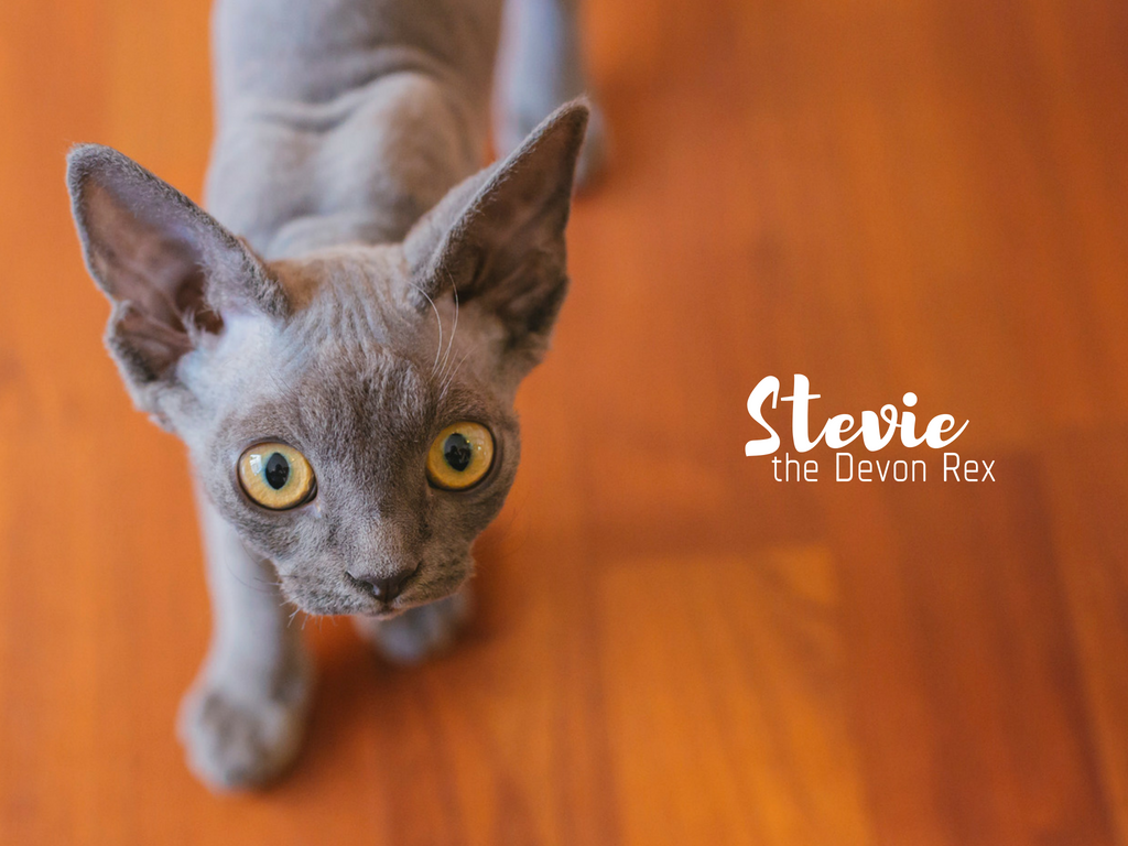 Meet Stevie! Stevie is named after the beautiful QUEEN that is Stevie Nicks and her rockstar flair and amazing curly hair! Stevie is an 18 week old Devon Rex which is a very unique breed where the cats act like dogs (no seriously, google it). Stevie loves meeting new people, playing fetch and following her human parents around. Stevie likes anything that crinkles like chip bags, toys and wrappers, face rubs and baths! She dislikes bicycles, blenders and pirate cannons. You can follow Stevie's journey through life on instagram @steviethedevonrex. The Seattle RUFFined Spotlight is a weekly profile of local pets living and loving life in the PNW. If you or someone you know has a pet you'd like featured, email us at hello@seattlerefined.com or tag #SeattleRUFFined and your furbaby could be the next spotlighted! (Image: Sunita Martini / Seattle Refined).