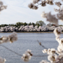 National Cherry Blossom Festival Opening Ceremony rescheduled to March 25