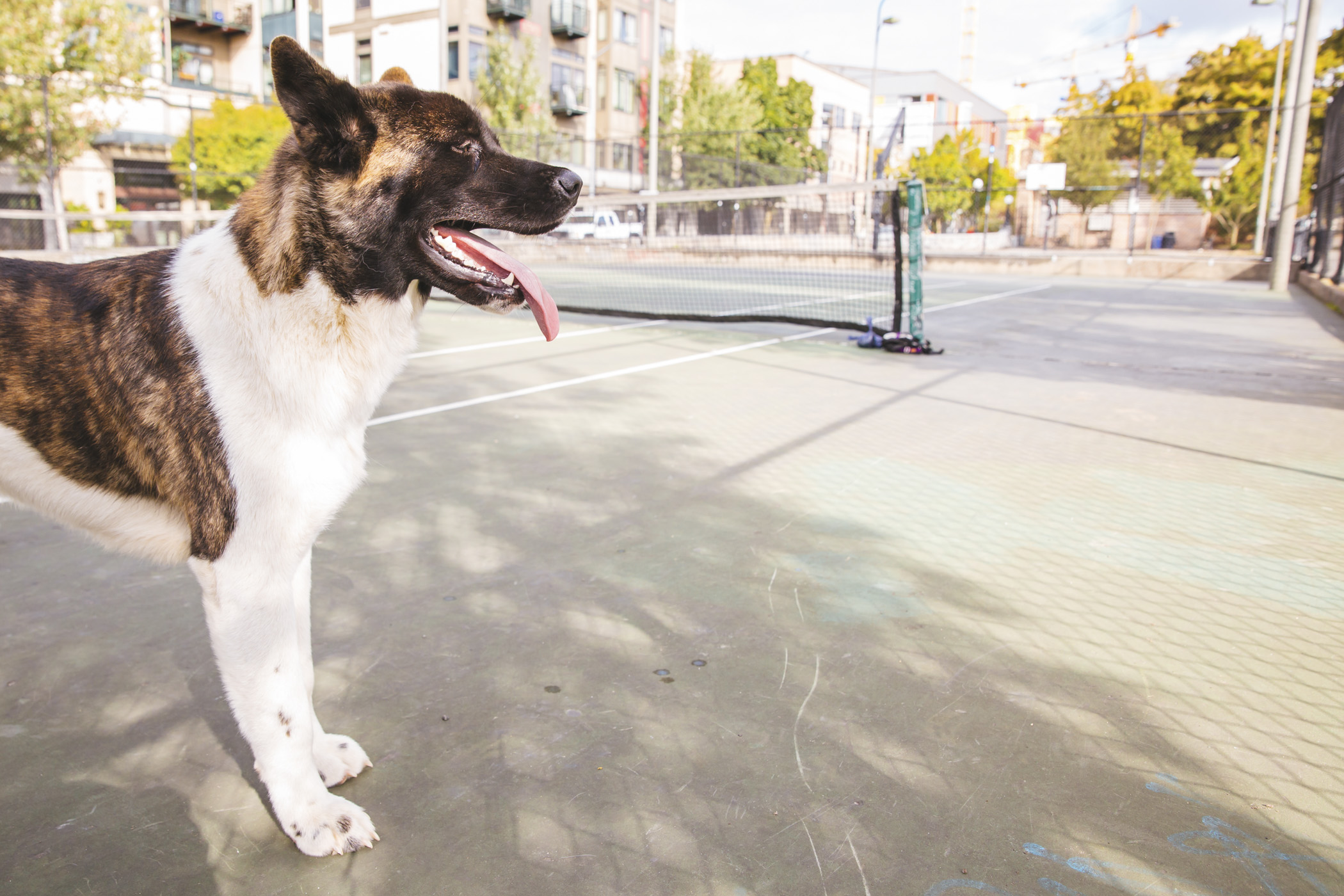 "<p>You may remember last week we featured a sweet{&nbsp;}<a  href=""http://seattlerefined.com/lifestyle/ruffined-spotlight-bella-the-akita"" target=""_blank"" title=""http://seattlerefined.com/lifestyle/ruffined-spotlight-bella-the-akita"">Akita named Bella?{&nbsp;}</a>Well this is Bella's brother, Forest.{&nbsp;} He is a pure bred American Akita and just celebrated his first birthday in September. Forest likes belly rubs, running in circles and playing chase with other dogs. Forest dislikes rakes, wheelbarrows, the lawn mower and basically any gardening equipment.{&nbsp;}The Seattle RUFFined Spotlight is a weekly profile of local pets living and loving life in the PNW. If you or someone you know has a pet you'd like featured, email us at hello@seattlerefined.com or tag #SeattleRUFFined and your furbaby could be the next spotlighted! (Image: Sunita Martini / Seattle Refined).</p>"