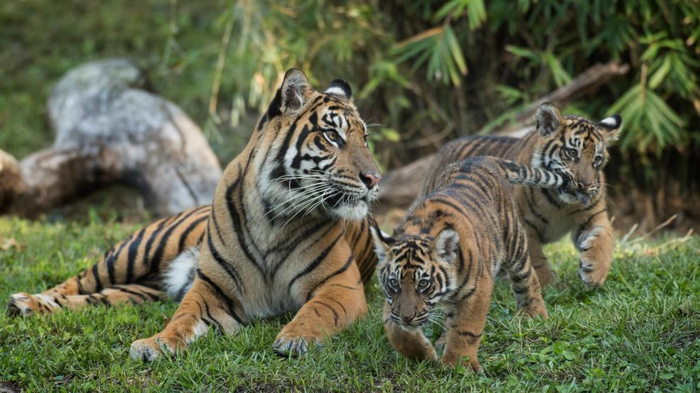 Disney Adds Endangered Sumatran Tiger Cubs To Its Animal