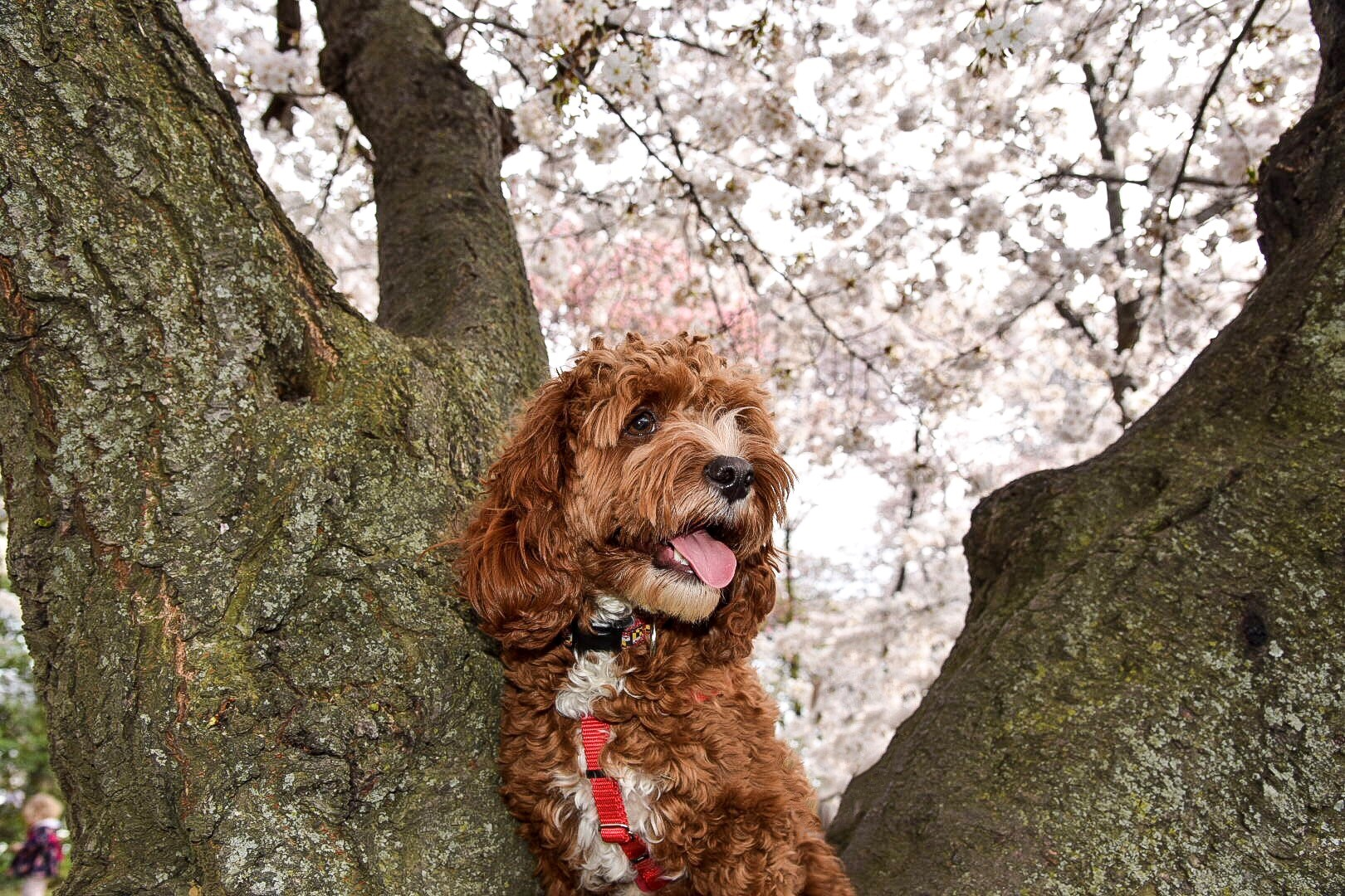 In honor of National Pet Day (which is basically like Christmas around here!) we checked in on a few of our favorite Instagram stars to see what they've been up to lately, and we noticed many of them had paid a visit to D.C.'s beloved blossoms. So for this week's special RUFFined Spotlight, we give you some adorable four-legged admirers of the cherry blossoms! (Image: via IG user @kicking.back.with.kaden /{ }instagram.com/kicking.back.with.kaden/){ }