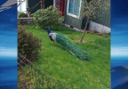 Peacock spotted in Beaverton - Photo from Tracey Watt Tracy.jpg