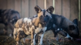 Zoo introduces endangered African painted dog pups to public