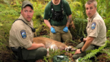 Necropsy shows no abnormalities in cougar in North Bend attack