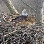 LIVE: Baby eaglet hatches on Dale Hollow Eagle Cam